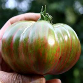 Фото «Harvard Square» - Organic Tomato Seeds