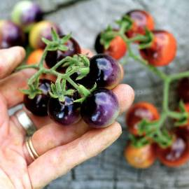 «Indigo Blue Berries» - Organic Tomato Seeds