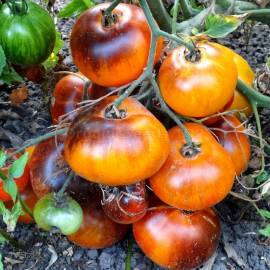 «P-20 + Beauty King» - Organic Tomato Seeds