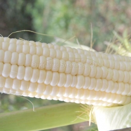 «Popcorn White» - Organic Corn Seeds