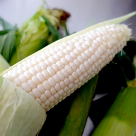 «White Queen» - Organic Corn Seeds