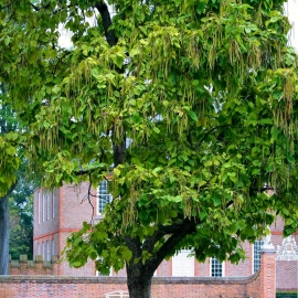 Organic Northern Catalpa Seeds (Catalpa Speciosa)