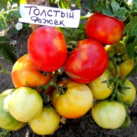 «Thick Jack» - Organic Tomato Seeds