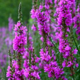 «Foliage» - Organic Loosestrife Seeds