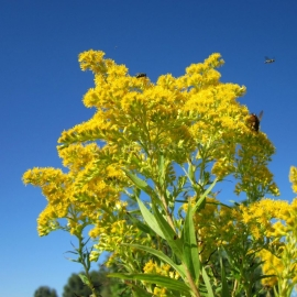 «Solidago» - Organic Goldenrod Seeds