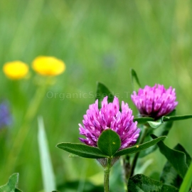 «Red Hibernian» - Organic Red Clover Seeds