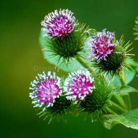 Organic Great Burdock Seeds (Arctium Lappa)