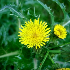 Organic Perennial Sowthistle Seeds (Sonchus Arvensis)