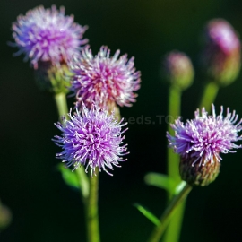 Organic Creeping Thistle Seeds (Cirsium arvense)