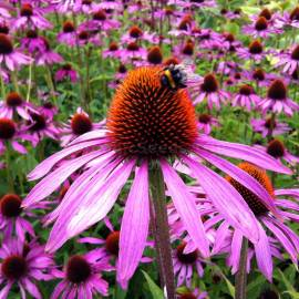 «Purple King» - Echinacea purpurea Seeds