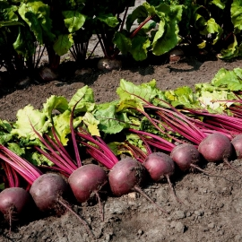 «Bull's Blood» - Organic Beetroot Seeds