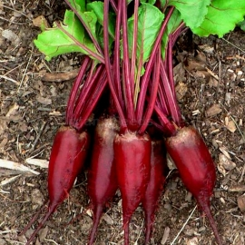 «Opolski» - Organic Beetroot Seeds