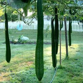 «Thai Extra Long» - Organic Luffa Seeds