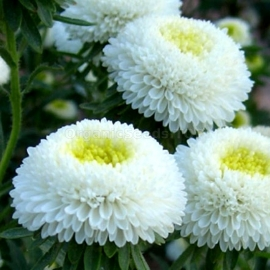 «Pompon White» - Organic Aster Seeds