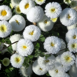 «Snow White» - Organic Bellis Seeds