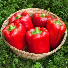 «California Wonder» - Organic Hot Pepper Seeds