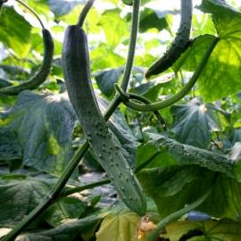 «Chinese Salad» - Organic Cucumber Seeds