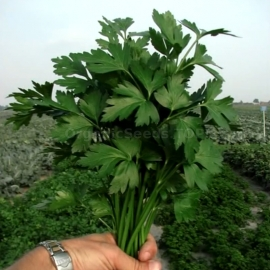 «Novas» - Organic Parsley Seeds