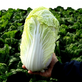 «Goblet» - Organic Napa Cabbage Seeds