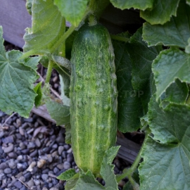 «Parade» - Organic Cucumber Seeds
