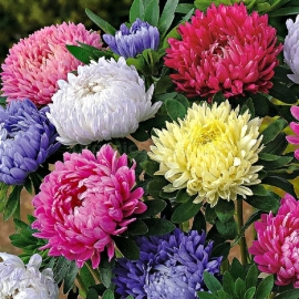 «Paeony Duchess Mix» - Organic Aster Seeds