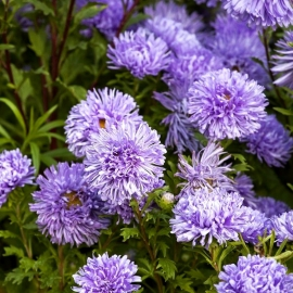 «Tiger Paw Blue» - Organic Aster Seeds