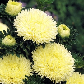 «Yellow Princess» - Organic Aster Seeds