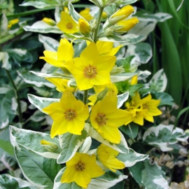 «Yellow» - Organic Loosestrife Seeds