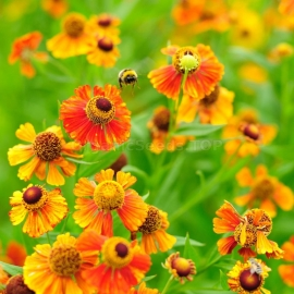 «Orange Sneezeweed» - Organic Helenium Seeds