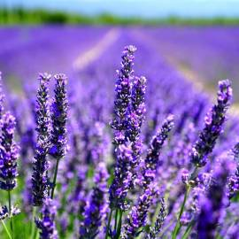 «Purple Ocean» - Organic Lavender Seeds