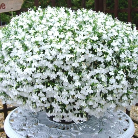 «White Lady» - Organic Lobelia Seeds
