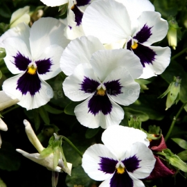 «Swiss Giant Silverbride» - Organic Viola Seeds