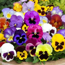 «Swiss Giant Velvet Mix» - Organic Viola Seeds