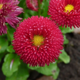 «Super Red» - Organic Bellis Seeds