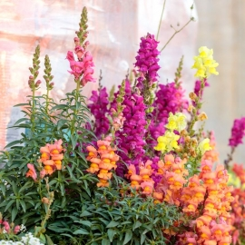 «Tom Thumb» - Organic Antirrhinum Seeds