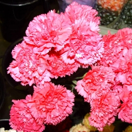 «Grenadin Rose» - Organic Carnation Seeds