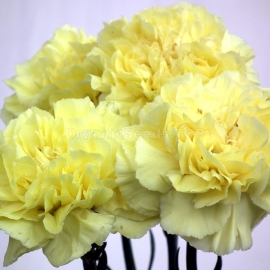 «Grenadin Yellow» - Organic Carnation Seeds