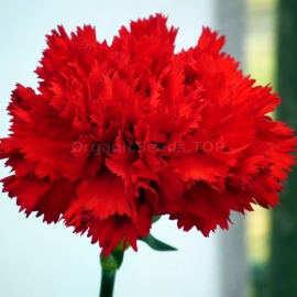 «Grenadin Scarlet» - Organic Carnation Seeds