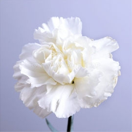 «Chabaud White» - Organic Carnation Seeds