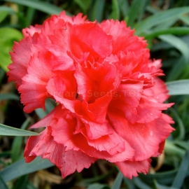 «Chabaud Rose» - Organic Carnation Seeds