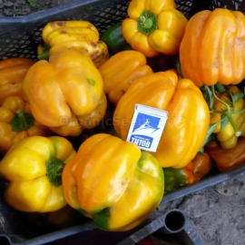 «Orange Bell» - Organic Pepper Seeds