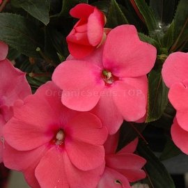 «Advantage Rose» - Organic Impatiens Seeds