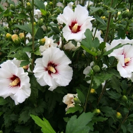 «Rose of Sharon» - Organic White Hibiscus Seeds