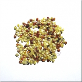 «Miniature Color» - Organic Corn Seeds