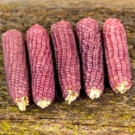 Details about  /Corn seeds  Popcorn Ukraine heirloom Organic seeds average