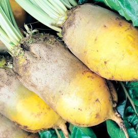 «Yellow Eckendorf» - Organic Fodder Beetroot Seeds