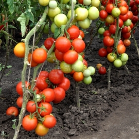 «Miracle of Logoisk» - Organic Tomato Seeds