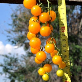 «World's Smallest Orange» - Organic Tomato Seeds