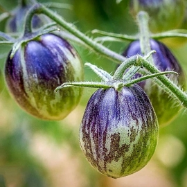 Фото «Kaleidoscopic Jewel» - Organic Tomato Seeds
