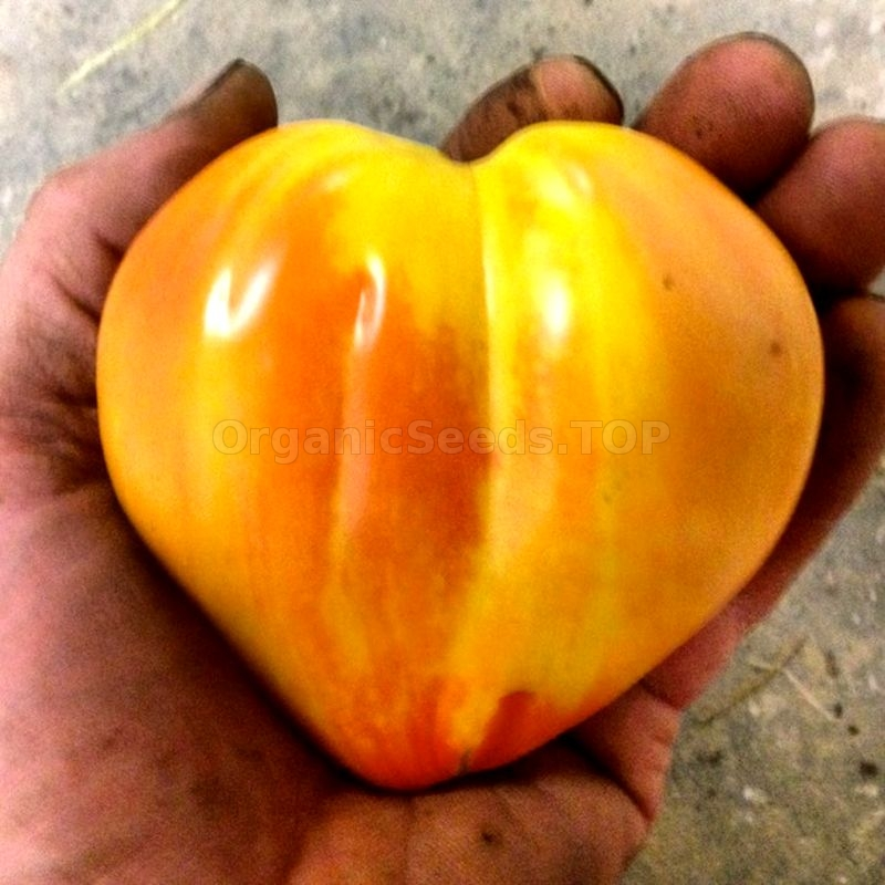 Bleeding Heart Tomato Seeds Organic Yellow Red Sweet Fruity Heirloom USA